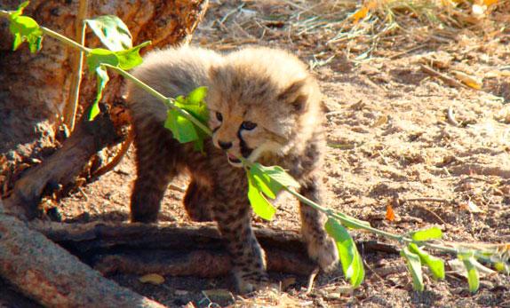 Cachorro de cheeta o guepardo (Acinonyx jubatus), las cámaras de Africam lo siguen desde su nacimiento.