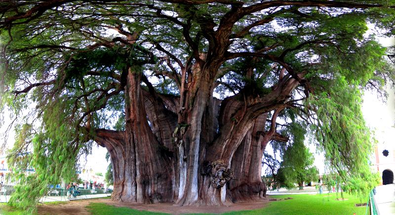 arbol del tule el arbol con el diametro de tronco mas grande del mundo