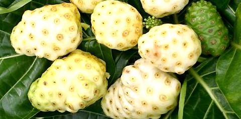 frutos maduros de noni