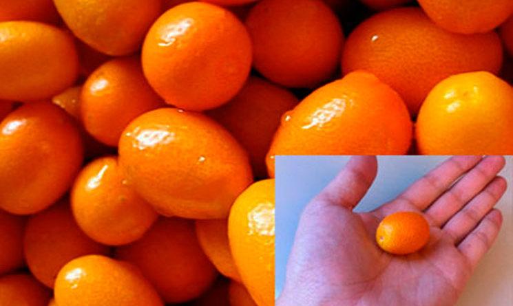 Kumquat, la naranjita china o quinoto