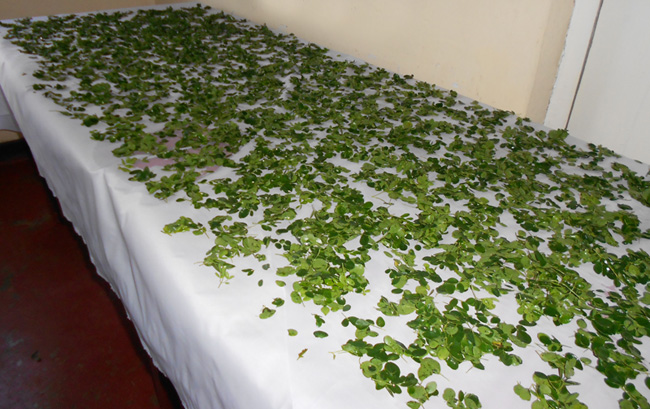 Cómo secar las hojas de moringa