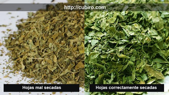 hojas-de-moringa-secado