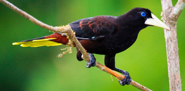 El Conoto Negro (Psarocolius decumanus)