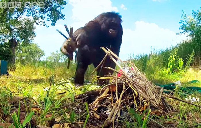Este bonobo hace su fuego y cocina sus propios malvaviscos