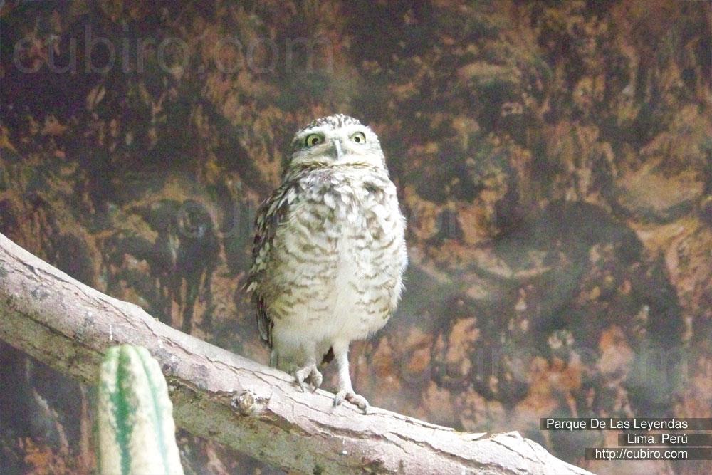 Mochuelo Zoologico Parque de las Leyendas en Lima