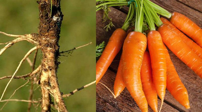 Cómo se veían las frutas y vegetales antes de ser domesticados