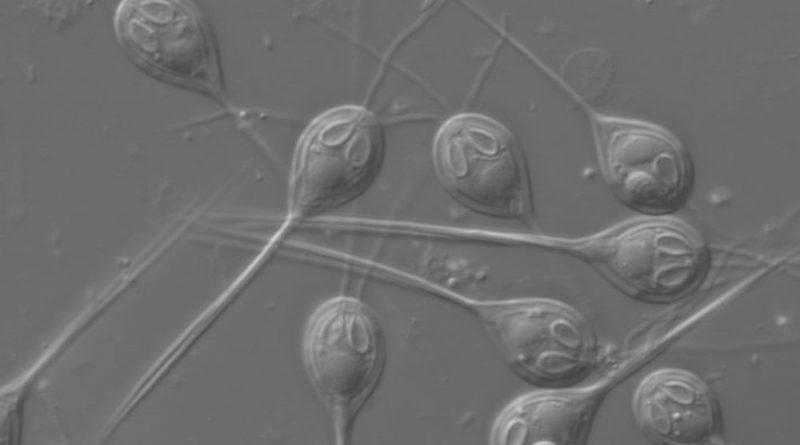 Descubren el primer ser vivo multicelular que puede vivir sin oxígeno