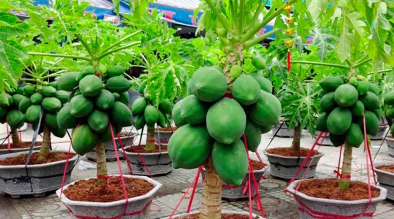 sembrar papaya enana en maceta