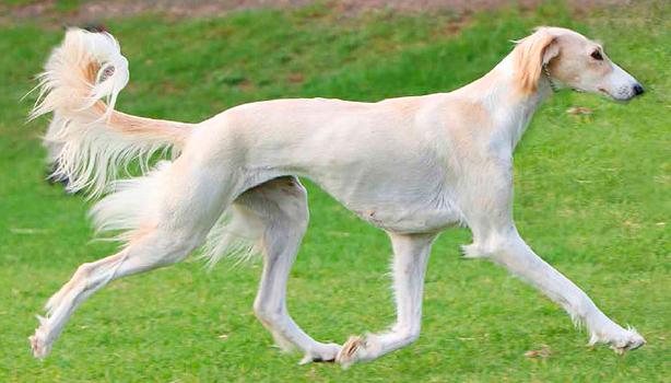 Día del perro - Raza Saluki