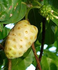 Fruto de Noni listo para cosecha, su color es amarillo-blanquesino
