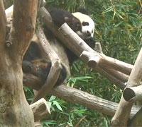 Panda Cam, webcam transmitiendo en vivo la vida de un panda en el Zoo de San Diego